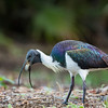 Straw-necked Ibis ©David Stowe-4393