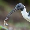 Straw-necked Ibis_detail ©David Stowe-4366