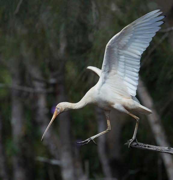 Yellow-billed Spoonbill (Platalea flavipes)
