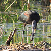 Glossy Ibis with Apple Snail