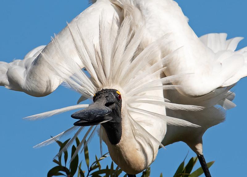 Royal Spoonbill (Platalea regia)