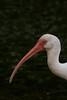White Ibis (b1084