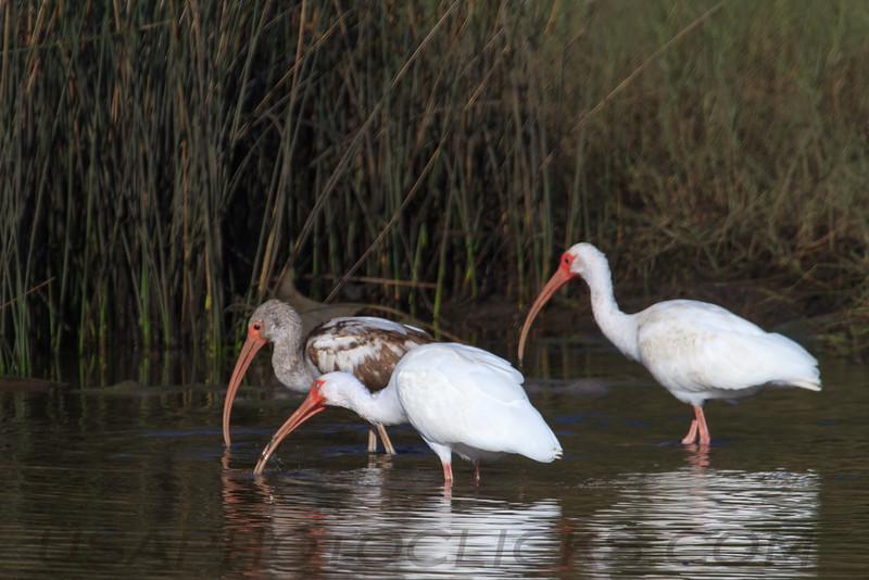 White Ibis (b1085