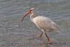 White Ibis (b1081)
