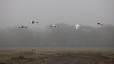 African Spoonbills in fog- Lake Nakuru National Park, Kenya