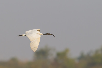 Black-headed Ibis in flight - Ameenpur Lake, Hyderabad, India