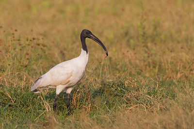 Black-headed Ibis - Ameenpur Lake, Hyderabad, India