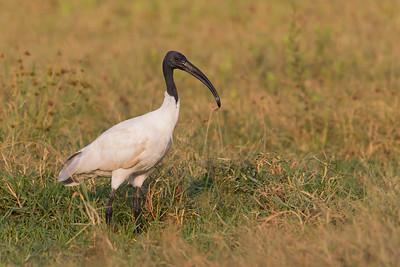 Black-headed Ibis - Ameenpur Lake, Hyderabad, India