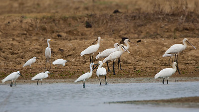 Eurasian Spoonbills, Intermediate Egrets - Kutch, Gujrat, India