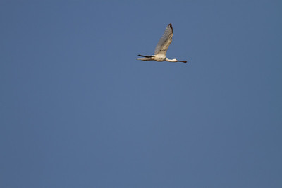 Eurasian Spoonbill in flight - Aswan, Egypt