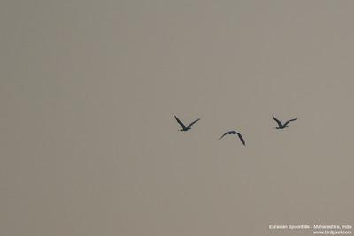 Eurasian Spoonbills - Maharashtra, India