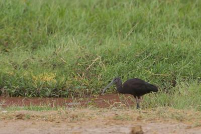 Glossy Ibis - Amboseli National Park, Kenya