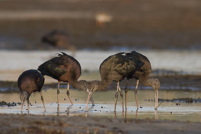 Glossy Ibis - Aswan, Egypt