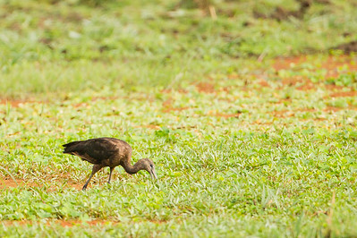 Glossy Ibis - Record - Lake Manyara National Park, Tanzania