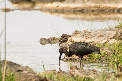 Glossy Ibis - Record - Tarangire National Park, Tanzania