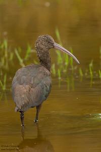 Puna Ibis - Manu Biosphere Preserve, Peru