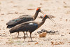 Red-naped Ibis - Kutch, Gujrat, India