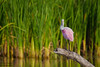 Roseate Spoonbill - Weslaco, TX, USA