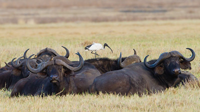 Sacred Ibis on a Cape Buffalo - Ngorongoro Crater, Tanzania