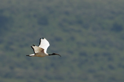 Sacred Ibis in flight - Lake Nakuru Naional Park, Kenya