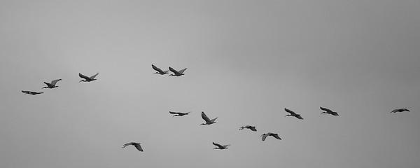 Sacred Ibises in flight - Ngorongoro Crater, Tanzania