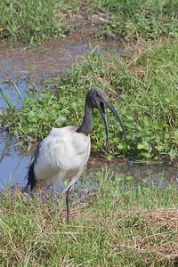 Sacred Ibis - Amboseli National Park, Kenya
