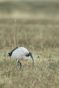 Sacred Ibis - Ngorongoro Crater, Tanzania