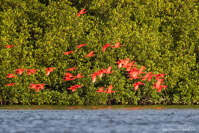 Scarlet Ibis - Caroni, Trinidad