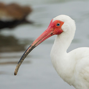 White Ibis portrait - South Padre Island, TX, USA