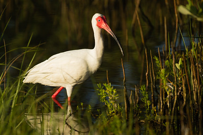 American White Ibis - South Padre Island, TX, USA