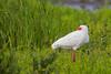 White Ibis - South Padre Island, TX, USA