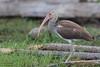 White Ibis - Caye Caulker, Belize