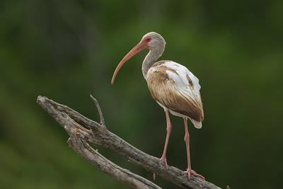 White Ibis - Juvenile - Estero Llano Grande State Park - Weslaco, TX, USA