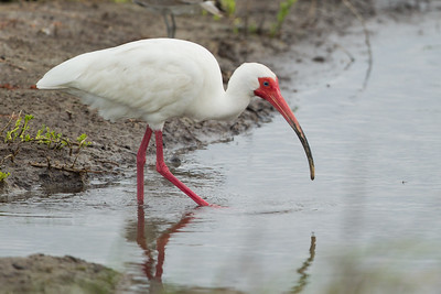 White Ibis - South Padre Island, TX, USA