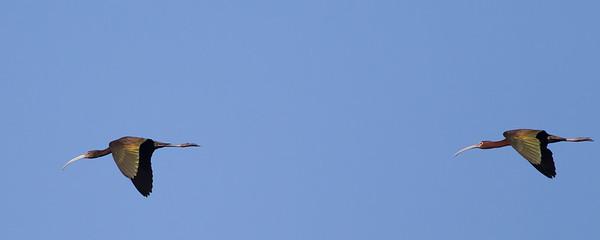 White-faced Ibis - Sierra Valley, CA, USA