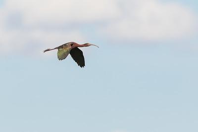 White-faced Ibis - OR, USA