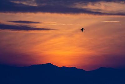 White-faced Ibis - Merced, CA, USA