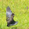 Cornwall, glossy ibis: Plegadis falcinellus, Richmond Road