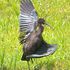 Cornwall, glossy ibis: Plegadis falcinellus, Richmond Road