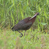 Carp, white-faced ibis: Plegadis chihi