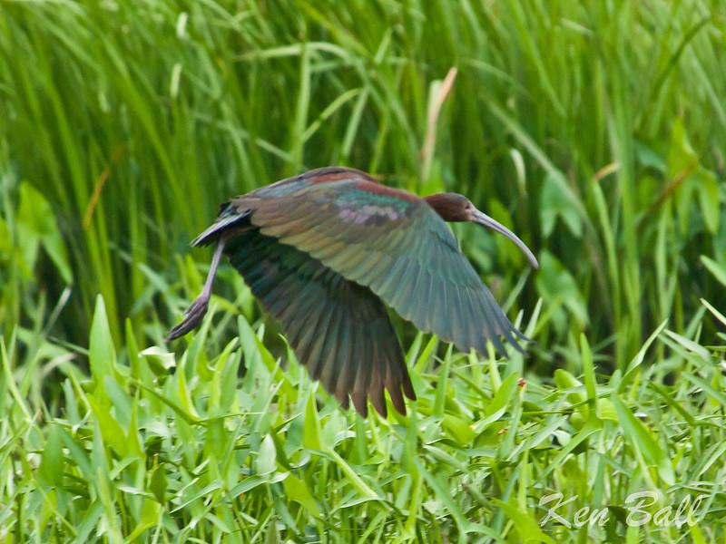 Carp, white-faced ibis: Plegadis chihi