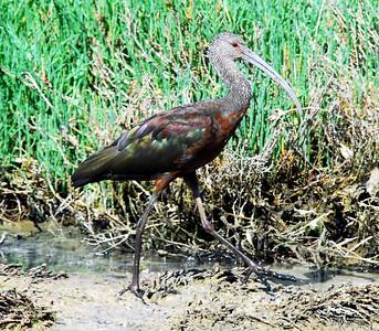 Los Penaquitos Marsh, San Diego, CA 07/12/2009