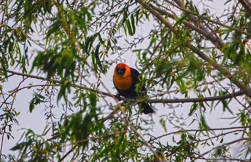 Yellow-headed Blackbird (male)