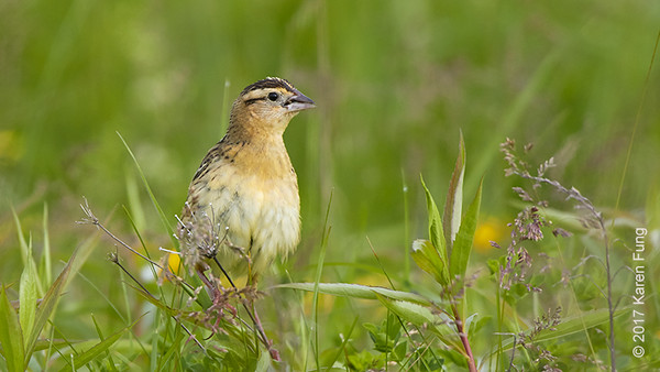 4 June: Female Bobolink