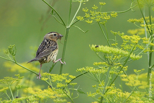 July 4th:  Female Bobolink with bug in Montgomery County