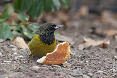 26 Jan: Scott's Oriole (immature male)