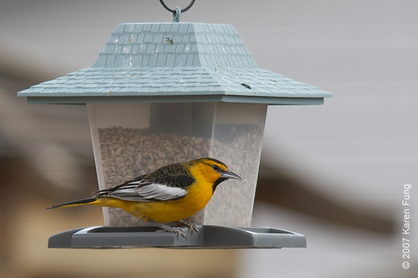 Bullock's Oriole at a private feeder in Phoenicia, NY.  A stray visitor from the West.
