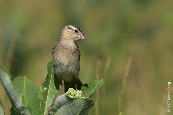 Female Bobolink at Shawangunk Grasslands NWR