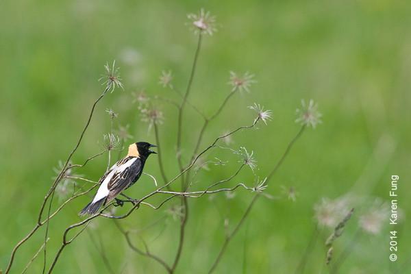 26 May: Bobolink at Shawangunk Grasslands NWR