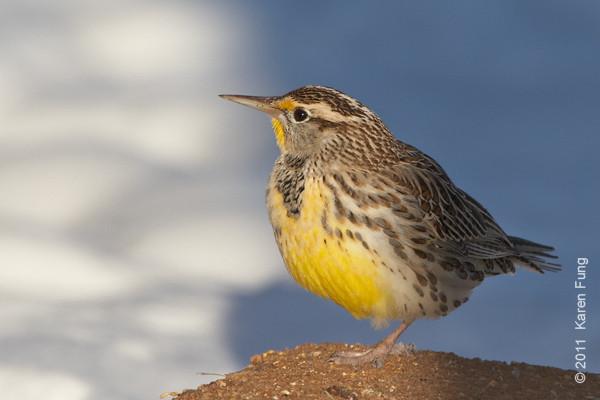 6 December: Western Meadowlark in San Antonio, NM